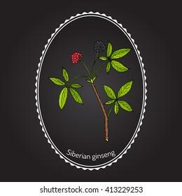 Eleutherococcus senticosus - Siberian Eleutherococcus. Hand drawn botanical vector illustration