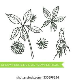 Eleutherococcus senticosus - Siberian herbs. Handdrawn Illustration - Health and Nature Set