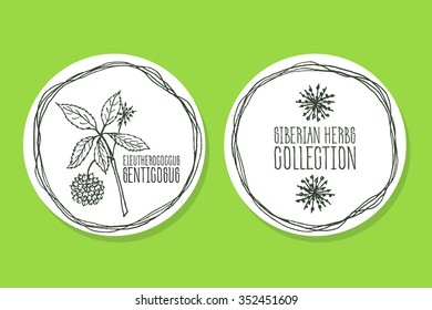Eleutherococcus senticosus - Siberian herbs. Handdrawn Illustration - Health and Nature Set of Product Labels