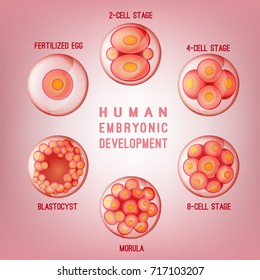 Embryo development image. Human fertilization scheme, the phases of embryo development in the early stages. Vector illustration in pink colours isolated on a light background.