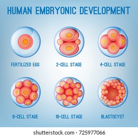 Embryo development image. Human fertilization scheme, the phases of embryo development in the early stages. Vector illustration in pink and blue colours isolated on a light blue background.