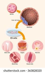 Embryonic stem cell (ES cell) and regenerative medicine, vector illustration