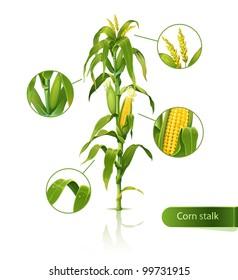 Encyclopedic vector illustration of corn stalk.