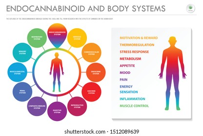 Endocannabinoid Body Systems - Endocannabinoid horizontal business infographic illustration about cannabis as herbal alternative medicine and chemical therapy, healthcare and medical science vector.