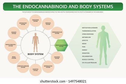 Endocannabinoid and Body Systems horizontal textbook infographic illustration about cannabis as herbal alternative medicine and chemical therapy, healthcare and medical science vector.