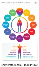 Endocannabinoid and Body Systems - Endocannabinoid vertical infographic illustration about cannabis as herbal alternative medicine and chemical therapy, healthcare and medical science vector.