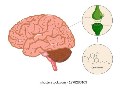 The endocannabinoid system in brain, healthcare and medical illustration about cannabis