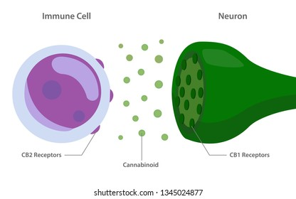 The Endocannabinoid System with Cannabinoid Receptors between Immune Cell and Neuron Diagram illustration about cannabis, healthcare meical and science vector.