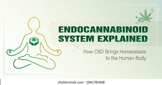 Endocannabinoid system explained how CBD Brings Homeostasis to the Human Body poster