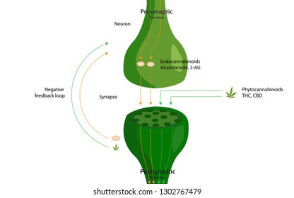 The endocannabinoid system flow, healthcare and medical illustration about cannabi