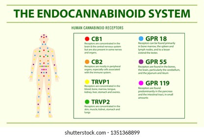 Endocannabinoid System and Human Receptors horizontal infographic illustration about cannabis as herbal alternative medicine and chemical therapy, healthcare and medical science vector.
