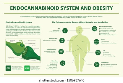 Endocannabinoid System and Obesity horizontal infographic illustration about cannabis as herbal alternative medicine and chemical therapy, healthcare and medical science vector.