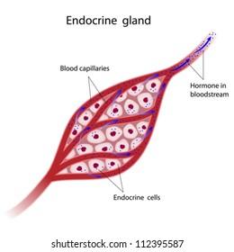 Endocrine glands cells