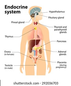 endocrine glands images, stock photos & vectors shutterstock endocrine system diagram outline endocrine gland diagram labeled #2