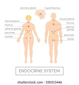 The endocrine system of a human. Cartoon vector illustration for medical atlas or educational textbook. Male and female physiology.
