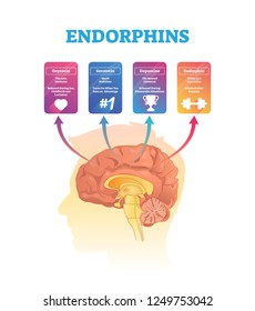 Endorphins vector illustration. Isolated human brain cross section hormones scheme. Exposure and release time for oxytocin, serototin, dopamine and endorphin. Anatomical and biochemical explanation.
