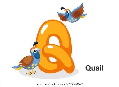 English alphabet Q, Q for quail