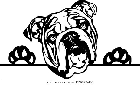 English Bulldog lap dog breed face head isolated pet animal domestic pet canine puppy purebred pedigree hound portrait peeking paws smiling smile happy art artwork illustration design set