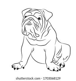 English bulldog sitting on his butt, funny dog