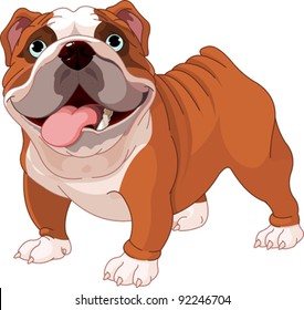 English bulldog , standing in front of white background