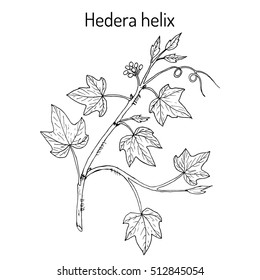 English ivy (Hedera helix), ornamental and medicinal plant. Hand drawn botanical vector illustration