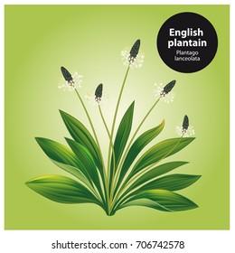 English plantain. Plantago lanceolata.