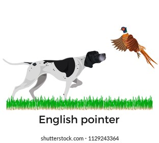 English pointer. Pheasant hunting. Vector illustration isolated on the white background