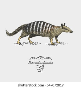 engraved, hand drawn vector illustration in woodcut scratchboard style, vintage drawing australian species. numbat myrmecobius fasciatus.