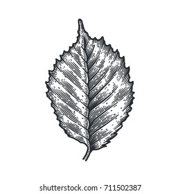 Engraving Birch Leaf isolated on white background. Detailed vector illustration of hand drawn autumn leaf. Vintage retro fall seasonal decor.