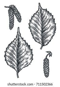 Engraving Birch Leaf and Seed isolated on white background. Detailed vector illustration of hand drawn autumn leaves. Vintage retro fall seasonal decor.