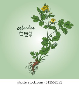 Engraving of celandine, its name in English and Chinese, in colors