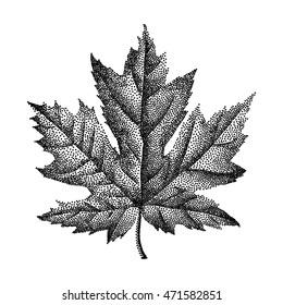 Engraving Maple Leaf Hand Drawn Vector Illustration