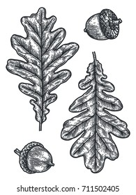 Engraving Oak Leaf and Acorn isolated on white background. Detailed vector illustration of hand drawn autumn leaves. Vintage retro fall seasonal decor.