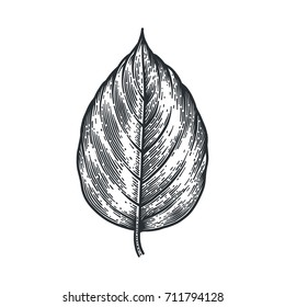 Engraving Poplar Leaf isolated on white background. Detailed vector illustration of hand drawn autumn leaf. Vintage retro fall seasonal decor.