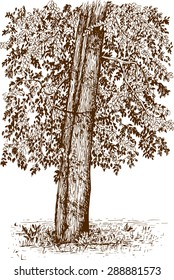 Engraving style tree illustration hand drawn