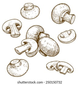 engraving vector illustration of mushrooms champignons on white background