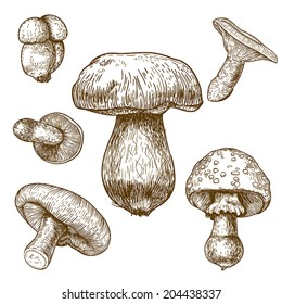 engraving vector illustration of mushrooms on white background