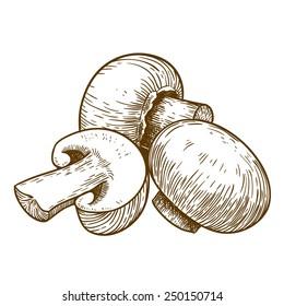 engraving vector illustration of tree mushrooms champignons on white background