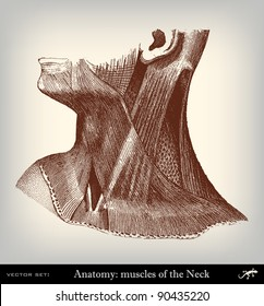 """Engraving vintage muscles neck from """"The Complete encyclopedia of illustrations"""" containing the original illustrations of The iconographic encyclopedia of science, literature and art, 1851. Vector."""