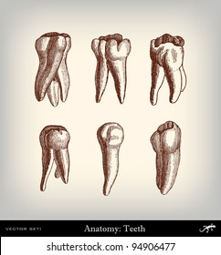 """Engraving vintage tooth set from """"The Complete encyclopedia of illustrations"""" containing the original illustrations of The iconographic encyclopedia of science, literature and art, 1851. Vector."""