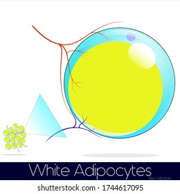 enlarged white adipocyte from a group of white adipocytes with blood vessels supplying nutrients and sympathetic nerves giving stimulus vector illustration eps