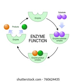 enzyme function. substrate, product, enzyme-product complex and enzyme-substrate complex. vector diagram for medical, educational and scientific use.