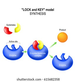 Enzyme. lock and key model. synthesis. metabolic processes. enzyme-substrate complex, substrate, product and active site.