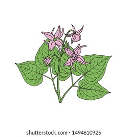 Epimedium (Horny Goat Weed, yin yang huo). Herb, used in Chinese medicine. Hand drawn vector illustration in sketch style.