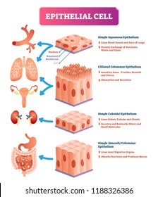 Epithelial cells vector illustration. Medical and anatomical location and meaning diagram. Closeup to simple squamous, cilliated colummar, cuboidal and smooth epithelium.
