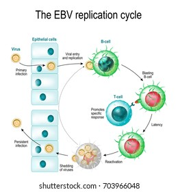The Epstein-Barr virus (EBV) replication cycle (Entry to the cell, latency and reactivation). human herpesvirus. the cause of infectious mononucleosis and cancer.