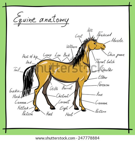 Equine Anatomy Parts Horse Stock Vector Royalty Free 247778884
