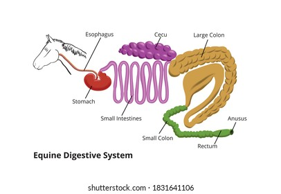 Equine Digestive System. Horse info graphic poster design.