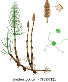 Equisetum arvense (horsetail) sporophyte with strobilus, sporangiophore and spore with uncoiled elaters