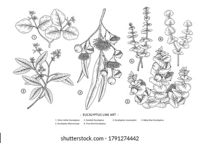 Eucalyptus branch hand drawn botanical illustrations. Black and white Line art drawings. Retro style elements.